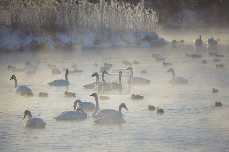 Swans and ducks wintering on altai lake Svetloe