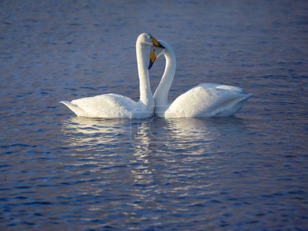 Couple of whooper swans