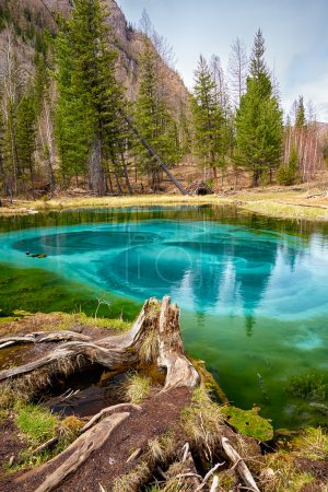 Photo for So cold blue geyser lake in Altay mountains with old stump on foreground - Royalty Free Image