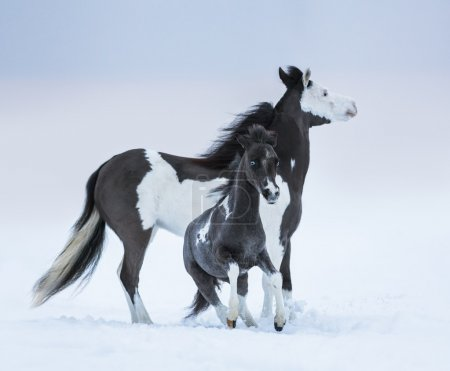 Klacz odrobina niebieskooka źrebię na pole zimą
