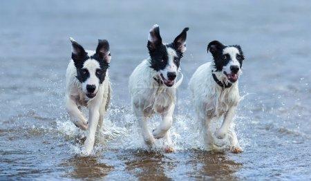 Three puppies of mongrel running on water.