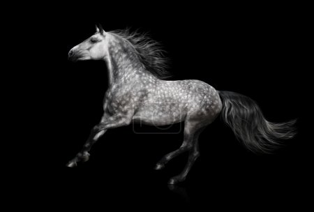 The grey Andalusian stallion gallops on black background
