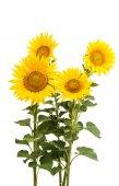 Slunečnice, samostatný
