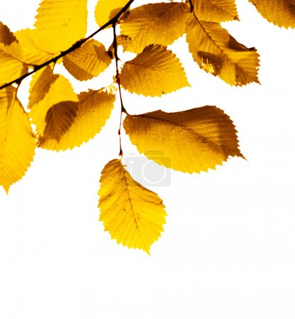 Yellow leaves on white