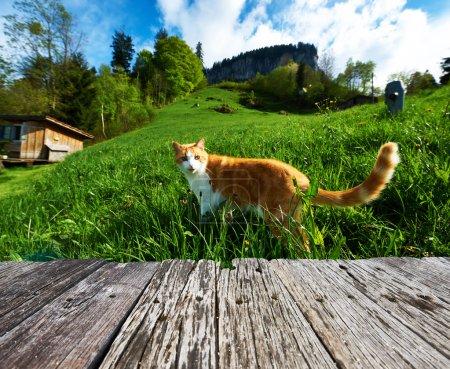 Photo pour Promenades de chats dans les prairies des Alpes suisses - image libre de droit