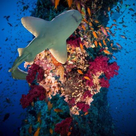 Photo pour Anthias tropicales poissons avec des coraux feu de filet et requin sur le récif de la mer Rouge sous l'eau - image libre de droit
