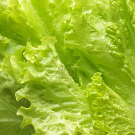 Photo for Fresh lettuce leaves, close up. - Royalty Free Image