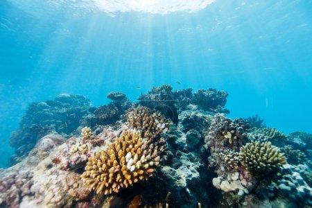 Photo pour Beau récif corallien coloré et poissons tropicaux sous-marins au Mozambique - image libre de droit