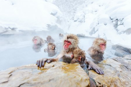 Snow Monkeys Japanese Macaques bathe in onsen hot ...