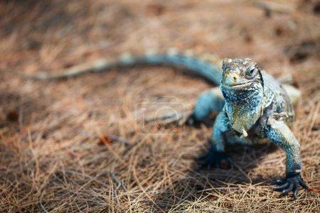 Iguana at Cuban island
