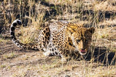 Foto de Alimentar a leopardo enorme. Safari de granja privada en Namibia - Imagen libre de derechos