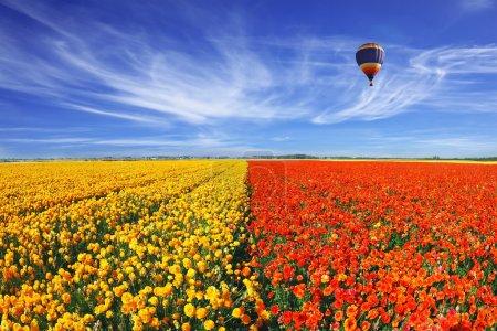 Foto de El enorme campo de rojos y naranjas ranúnculos (ranunculus asiaticus). humor Primavera maravillosa, linda gran globo vuela sobre el campo. la foto fue tomada lente ojo de pez - Imagen libre de derechos