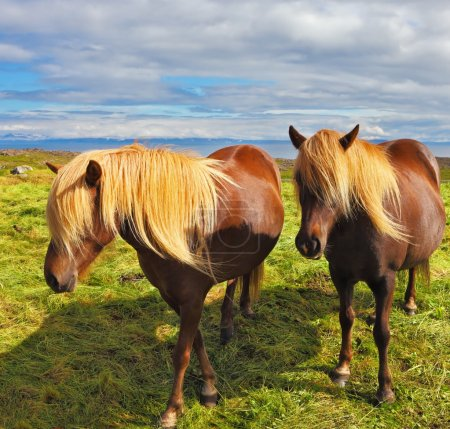 Two  horses with yellow manes