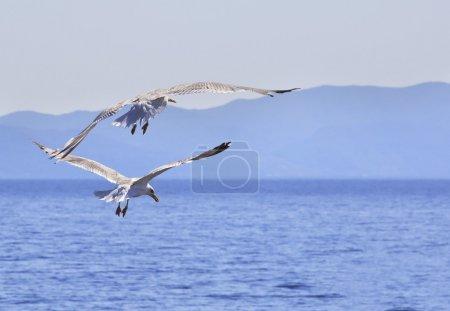 Yellow-legged gull (Larus michahellis). Sithonia p...