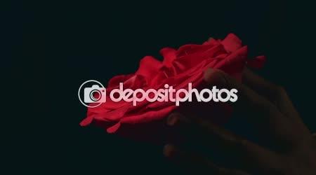 Ženské ruce škrtí červená růže. Násilné zabíjení krásy