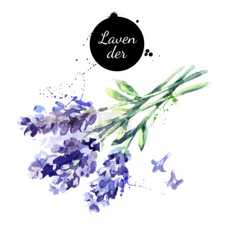 Illustration for Watercolor hand drawn bunch of lavender flowers. Isolated eco natural herbs vector illustration on white background - Royalty Free Image