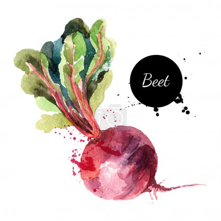 Beet. Hand drawn watercolor painting on white background.