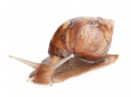 One snail close up
