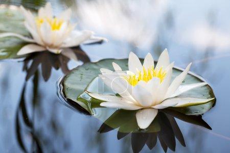Photo pour Nénuphar flottant sur le lac - image libre de droit