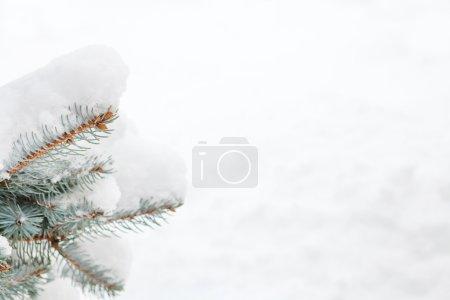 Snow fir tree branch