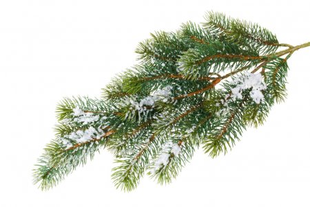 Fir tree branch covered with snow
