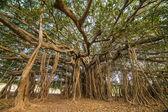 Amazing Banyan Tree