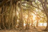 Amazing Banyan Tree