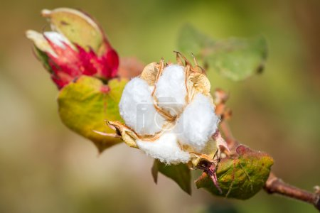 Cotton blooming plant