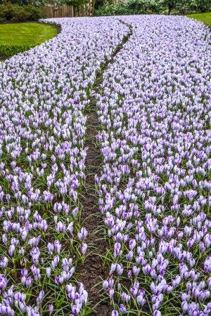 Photo pour Champ de tulipes dans le parc Keukenhof comme fond de fleur . - image libre de droit