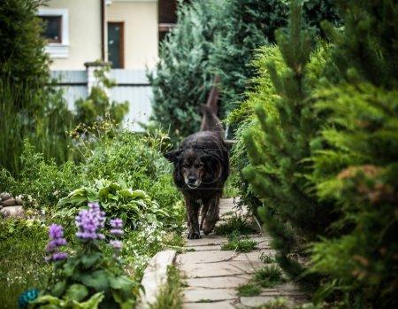 Photo pour Grand chien noir repose à l'extérieur. Sentinelle de sécurité Chien de mouton caucasien . - image libre de droit