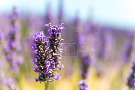 Photo for Lavender, summer in Provence, France. - Royalty Free Image