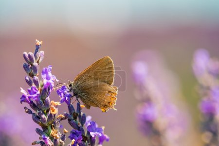 Butterfly on a lavender meadow