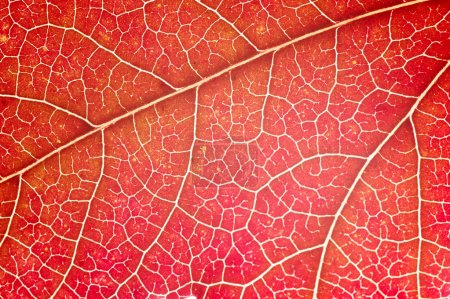 Photo for Detail of red maple leaf (acer rubrum) - Royalty Free Image
