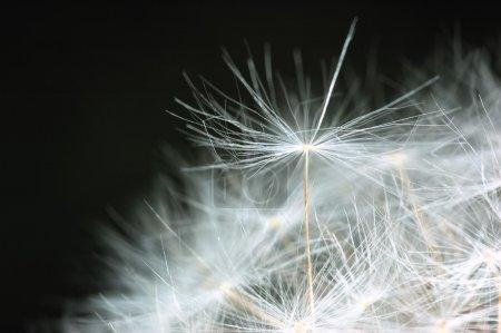 Dandelion bracts closeup