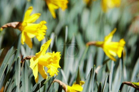 Yellow daffodils outdoors