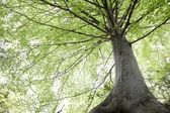 Beech tree view