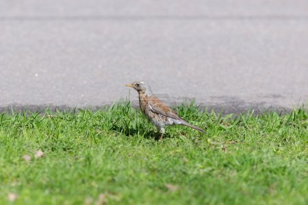 Snowbird on the grass beside the road...
