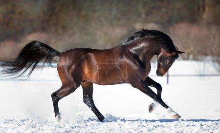 Photo pour Beau cheval brun courant dans la neige près de la forêt en hiver - image libre de droit