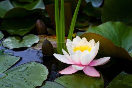 Photo pour Fleur de Lotus sur l'eau du bassin. nénuphar à fleurs - image libre de droit