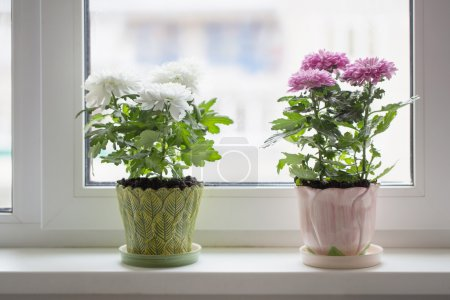 Chrysanthemum in pot on window sill
