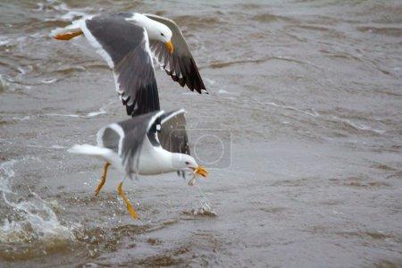 Photo pour Goéland argenté ou goéland argenté (Larus heuglini) sur la mer de Pechora (partie de la mer de Barents) ) - image libre de droit