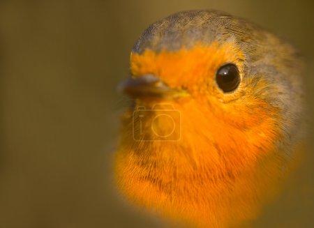 Closeup portrait of Robin (Erithacus rubecula). Young bird