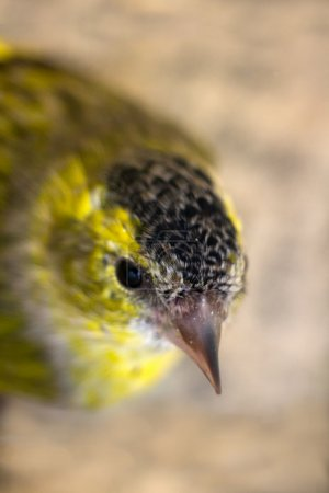 Close-up portrait of Siskin (Spinus spinus). Old male