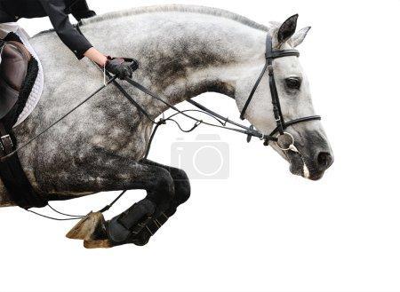 Photo pour Cheval gris en saut d'obstacles, isolé sur fond blanc - image libre de droit