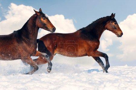 Dos jóvenes caballos jugando en el campo de nieve