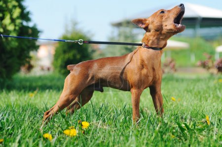 Puppy of Miniature Pinscher (Zwergpinscher, Min Pin) barking