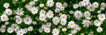Foto de Flores blancas (Cosmos). Resumen de antecedentes. Panorama. - Imagen libre de derechos