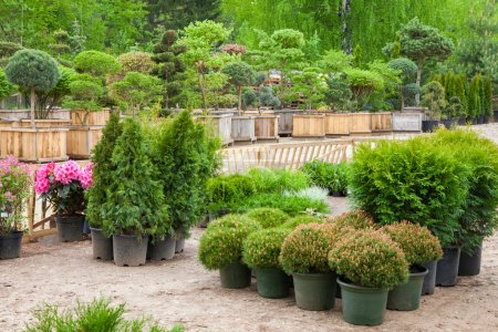 Cypresses plants in pots bonsai garden plants on tree farm