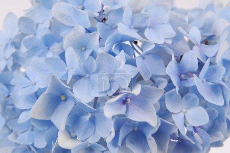 Foto de Fondo de flor hermosas hortensias azules. Color natural. - Imagen libre de derechos