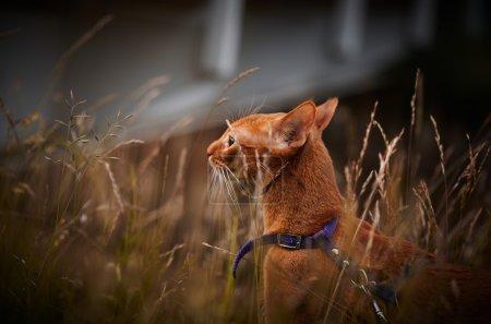 Photo pour Chat rouge jouant à l'extérieur de l'appartement le jour - image libre de droit